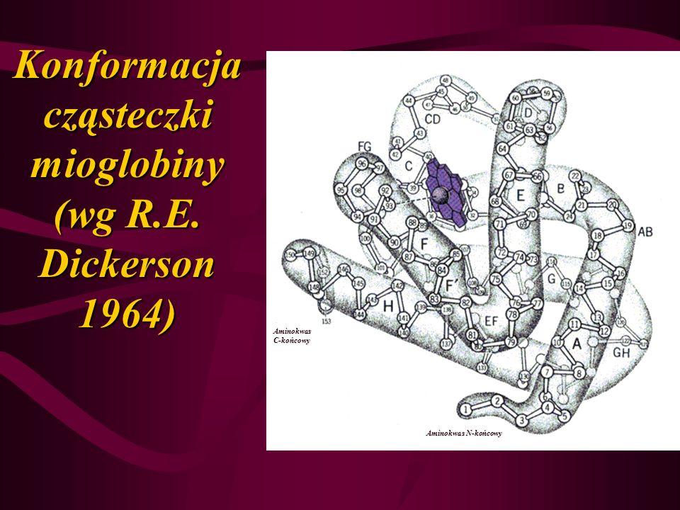 Konformacja cząsteczki mioglobiny (wg R.E. Dickerson 1964) Aminokwas C-końcowy Aminokwas N-końcowy