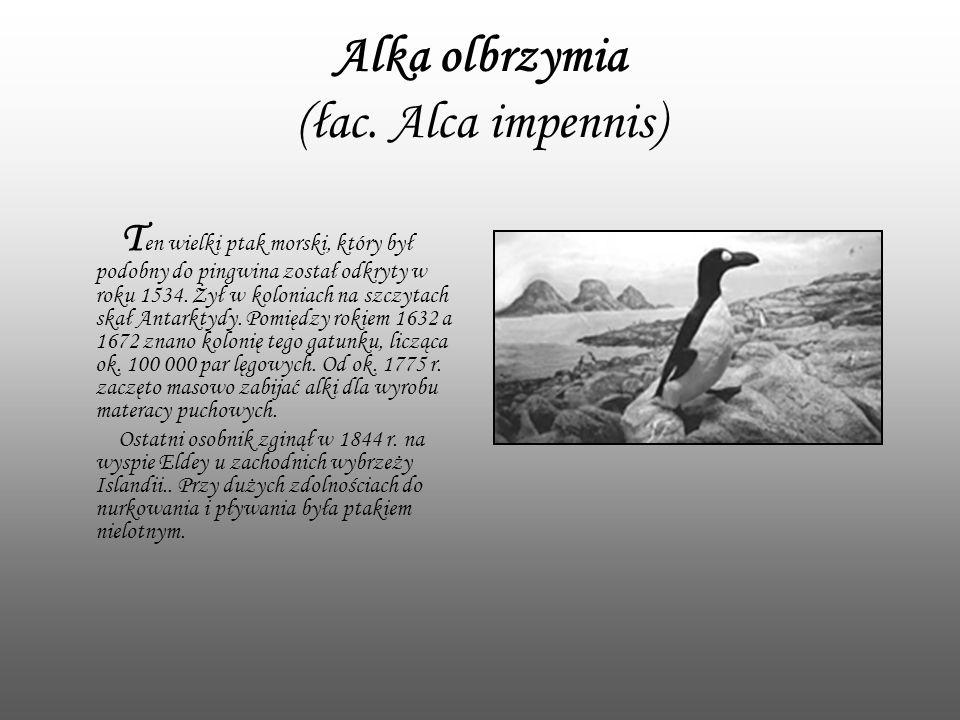 Alka olbrzymia (łac. Alca impennis) T en wielki ptak morski, który był podobny do pingwina został odkryty w roku 1534. Żył w koloniach na szczytach sk