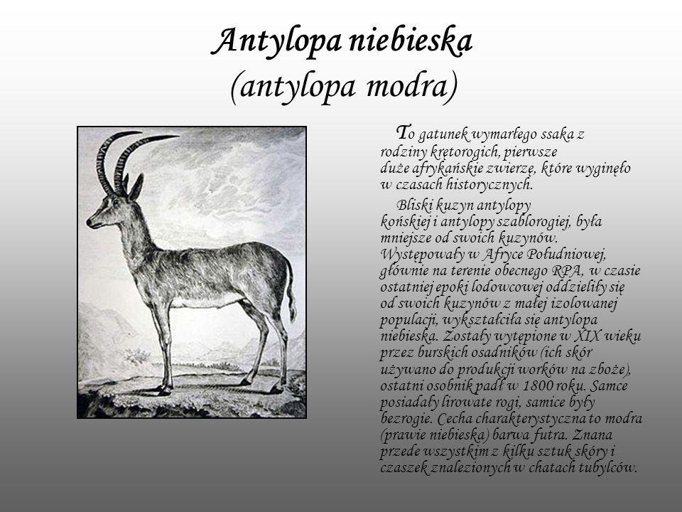 Antylopa niebieska (antylopa modra) T o gatunek wymarłego ssaka z rodziny krętorogich, pierwsze duże afrykańskie zwierzę, które wyginęło w czasach his