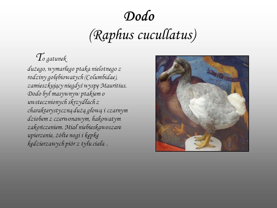 Dodo (Raphus cucullatus) T o gatunek dużego, wymarłego ptaka nielotnego z rodziny gołębiowatych (Columbidae), zamieszkujący niegdyś wyspę Mauritius. D