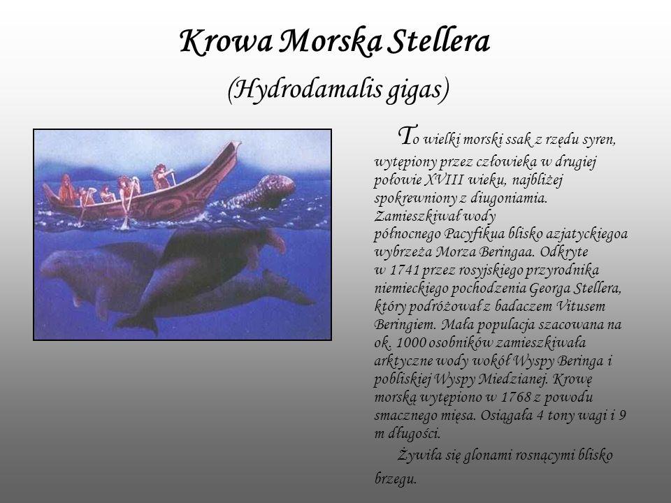 Krowa Morska Stellera (Hydrodamalis gigas) T o wielki morski ssak z rzędu syren, wytępiony przez człowieka w drugiej połowie XVIII wieku, najbliżej sp