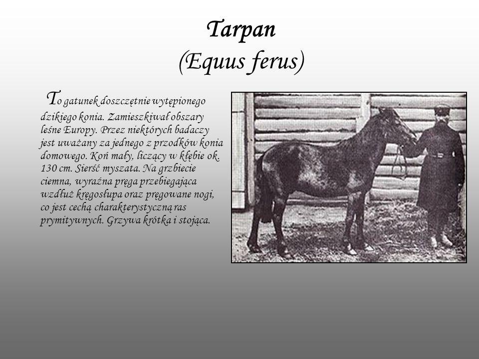Tarpan (Equus ferus) T o gatunek doszczętnie wytępionego dzikiego konia. Zamieszkiwał obszary leśne Europy. Przez niektórych badaczy jest uważany za j