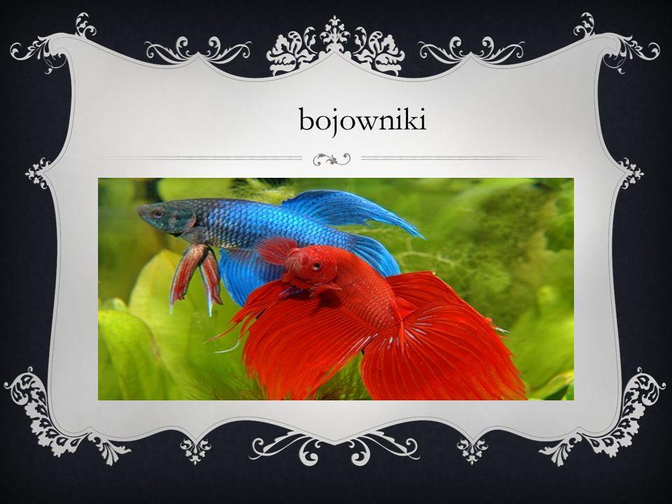 Bojownik wspaniały, bojownik syjamski – gatunek słodkowodnej ryby labiryntowej z rodziny guramiowatych.