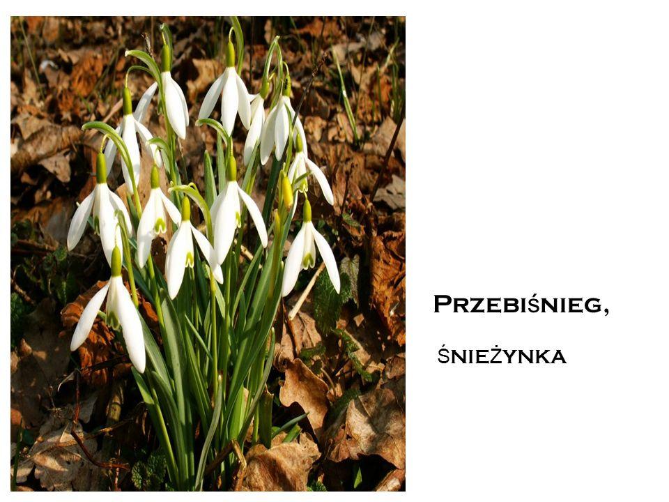 PRZEBI Ś NIEG T o roślina kwitnąca wczesną wiosną i mrozoodporna.