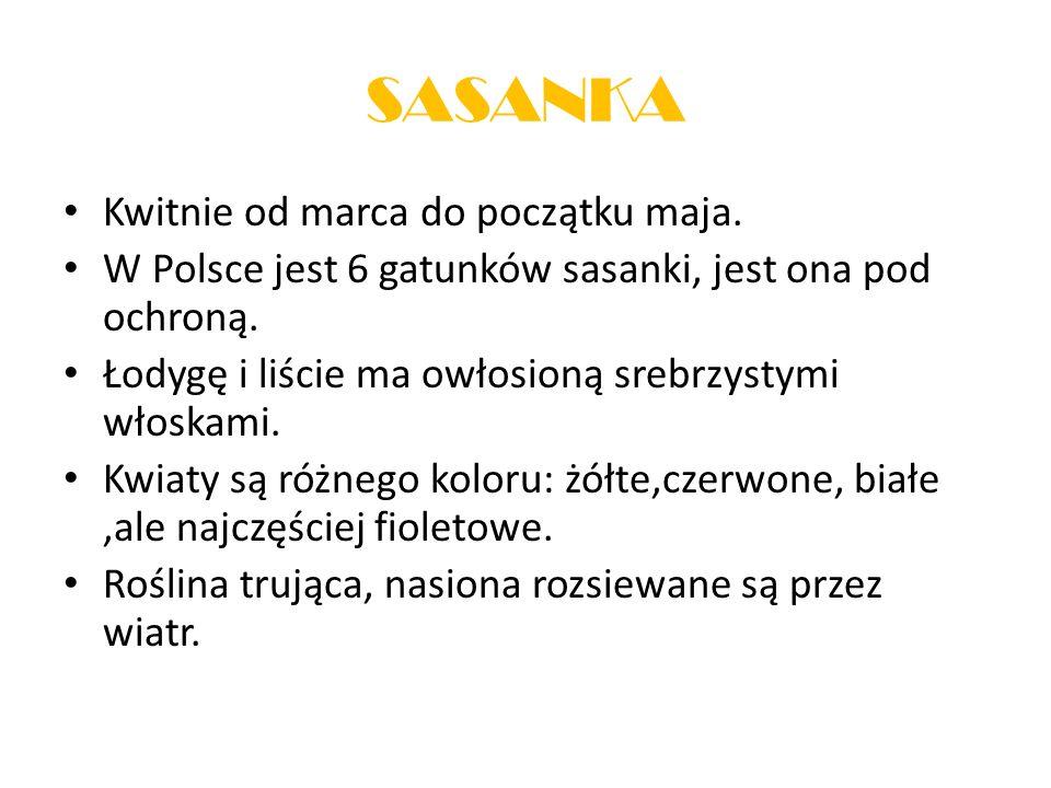 Kwitnie od marca do początku maja. W Polsce jest 6 gatunków sasanki, jest ona pod ochroną. Łodygę i liście ma owłosioną srebrzystymi włoskami. Kwiaty