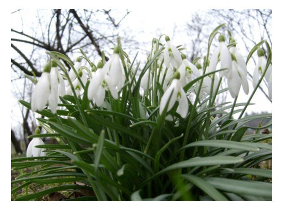 Kwitnie od marca do początku maja.W Polsce jest 6 gatunków sasanki, jest ona pod ochroną.