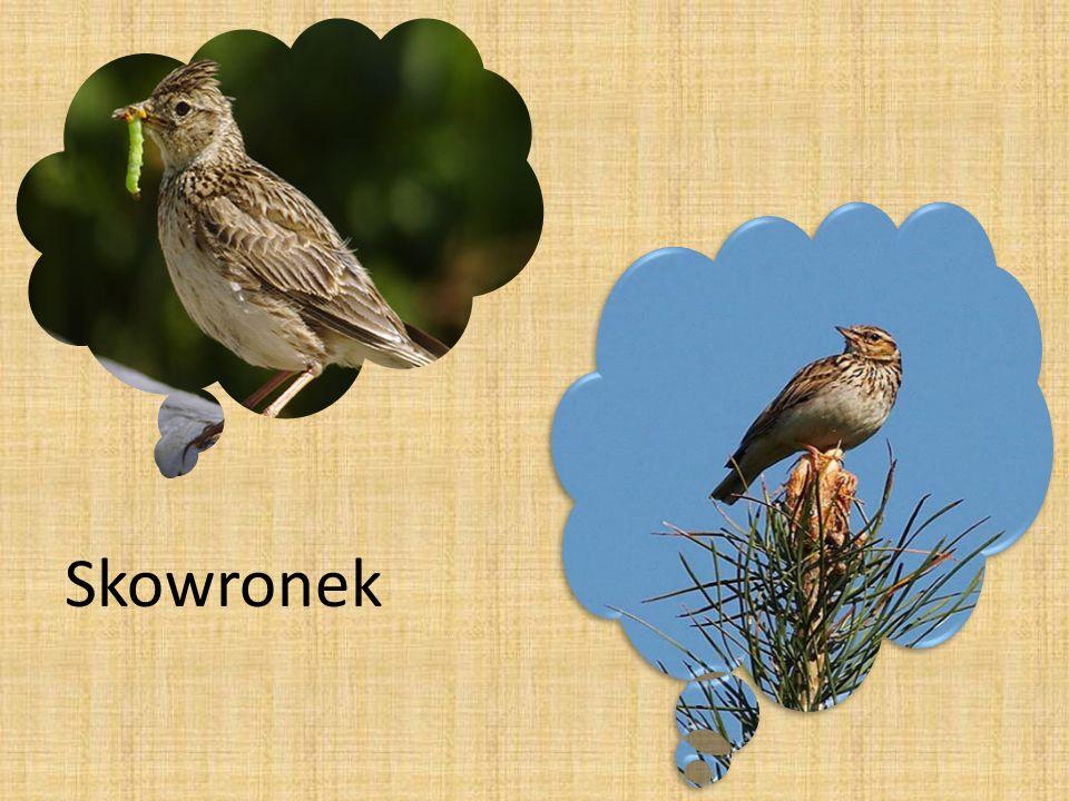 Występuje na polach uprawnych, łąkach, bagnach oraz przy zbiornikach wodnych.