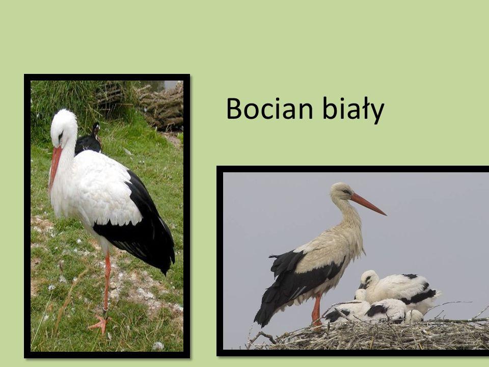 Bocian jest ptakiem mięsożernym-zjada: myszy, żaby, jaszczurki, chrząszcze, węże.