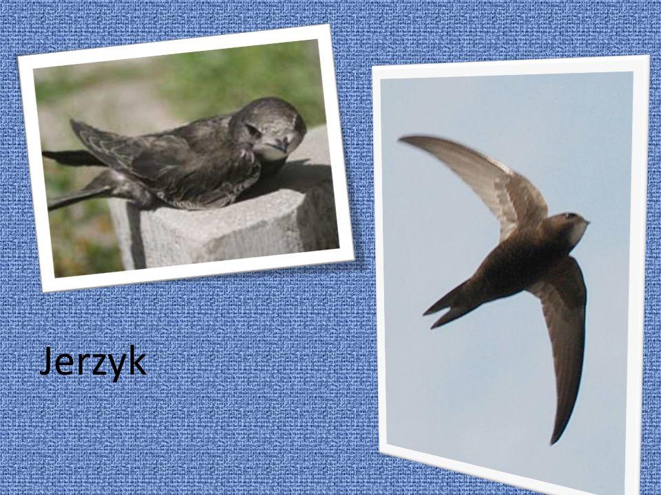 Jerzyk jest podobny do jaskółki, alewiększy i różni się brunatno czarnym ubarwieniem.