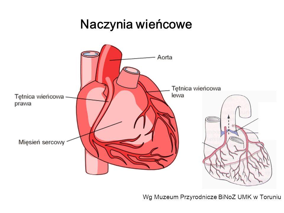 Wg Muzeum Przyrodnicze BiNoZ UMK w Toruniu Naczynia wieńcowe