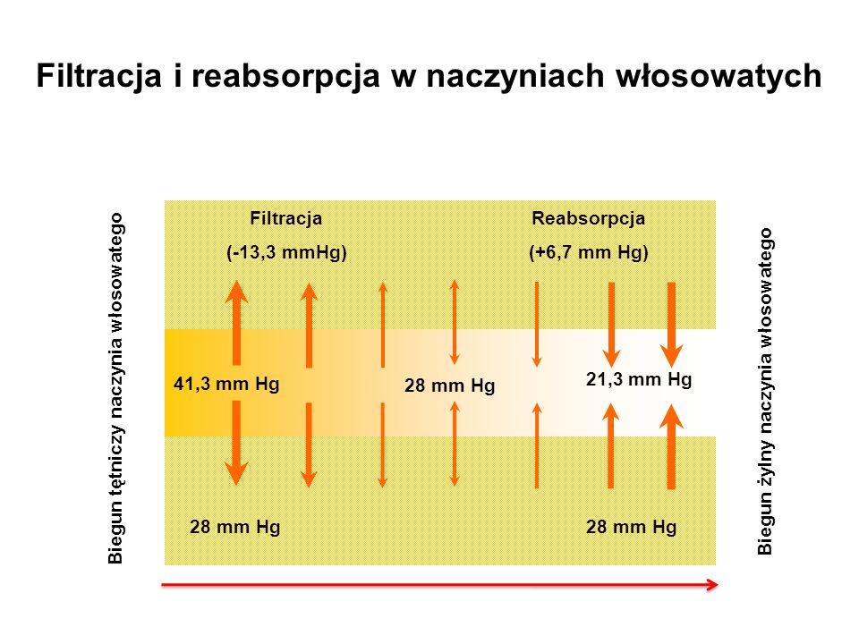 41,3 mm Hg Biegun tętniczy naczynia włosowatego Biegun żylny naczynia włosowatego Filtracja i reabsorpcja w naczyniach włosowatych Filtracja (-13,3 mm