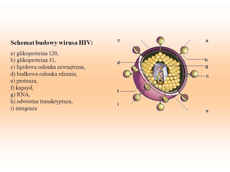 Replikacja wirusa HIV 1.Wirus przyczepia się: Białko otoczkowe cząsteczki wirusa wiąże się z receptorami białka CD4 zaatakowanej komórki 2.Powielanie genów: Wirus HIV kopiuje swój materiał genetyczny 3.Replikacja: Wirus umieszcza powielone geny w DNA zakażonej komórki.