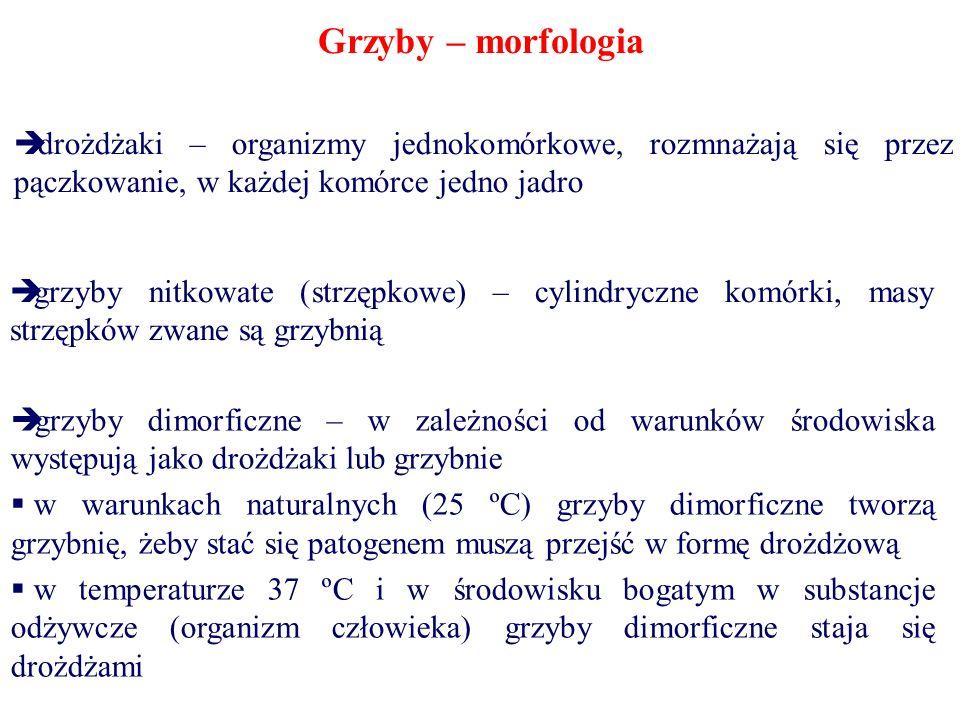Grzyby – morfologia drożdżaki – organizmy jednokomórkowe, rozmnażają się przez pączkowanie, w każdej komórce jedno jadro grzyby nitkowate (strzępkowe)