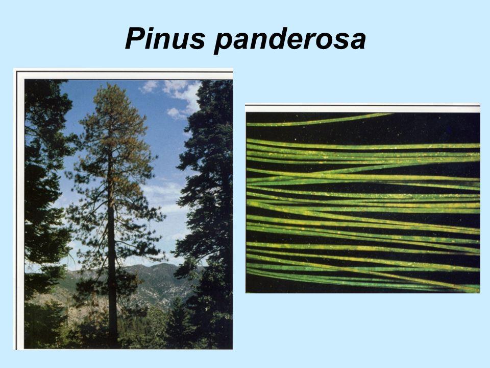 Pinus panderosa