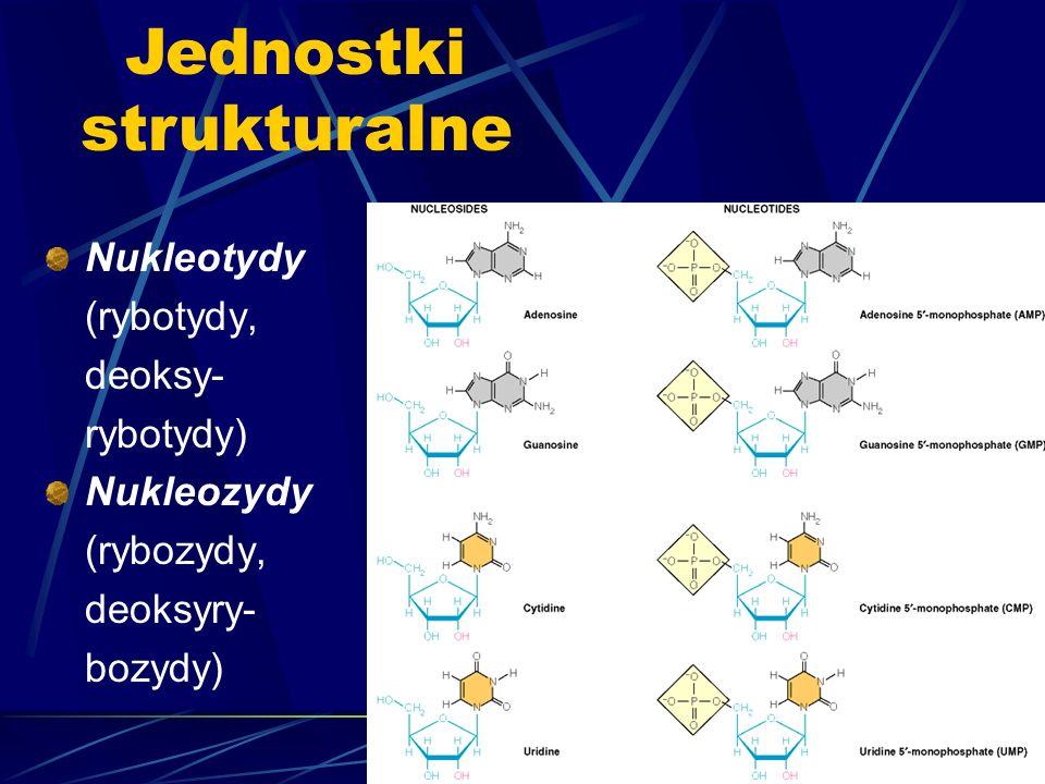 Nukleotydy (rybotydy, deoksy- rybotydy) Nukleozydy (rybozydy, deoksyry- bozydy) Jednostki strukturalne