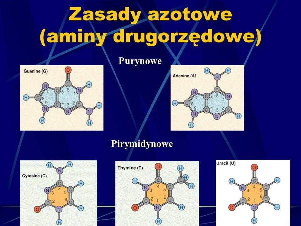 Zasady azotowe (aminy drugorzędowe) Purynowe Pirymidynowe