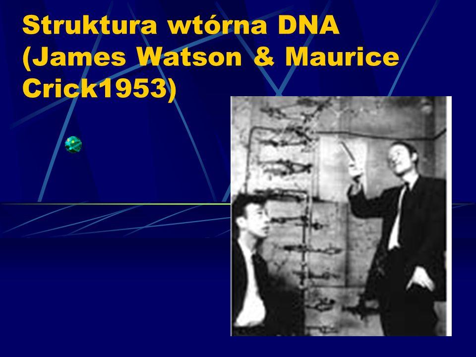 Struktura wtórna DNA (James Watson & Maurice Crick1953)