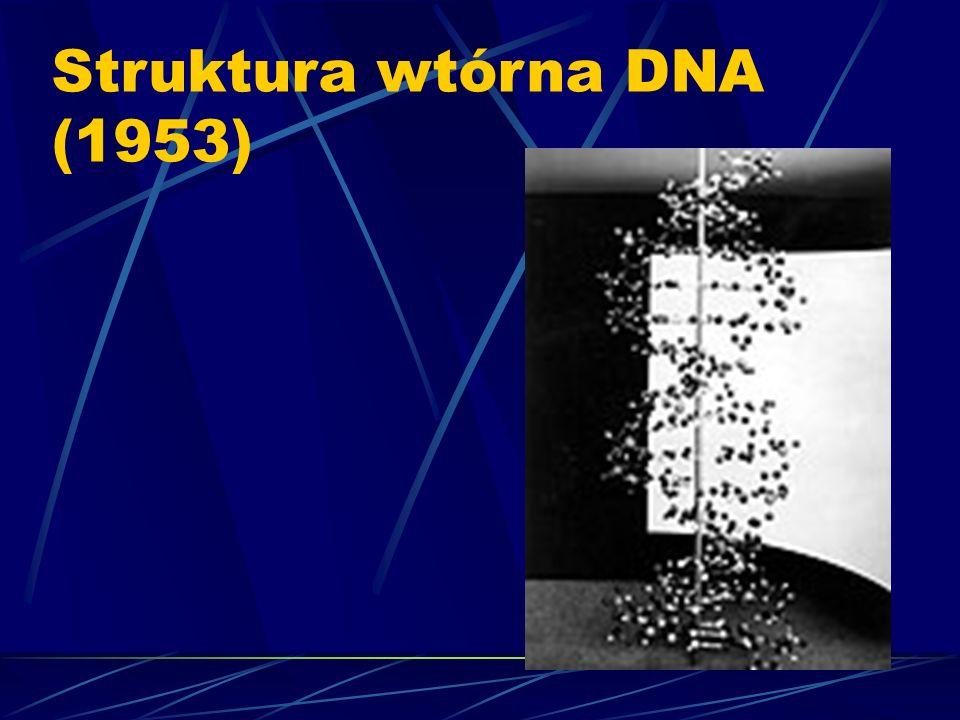 Struktura wtórna DNA (1953)