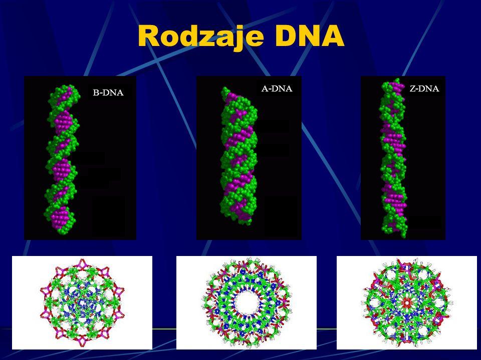 Rodzaje DNA B-DNA A-DNAZ-DNA