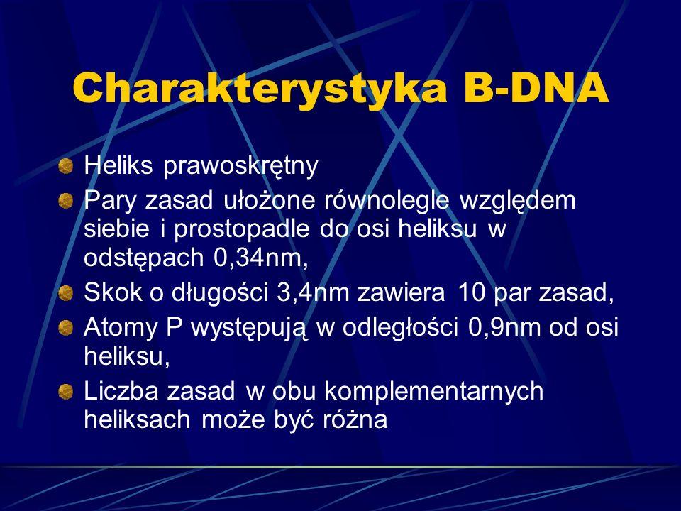 Charakterystyka B-DNA Heliks prawoskrętny Pary zasad ułożone równolegle względem siebie i prostopadle do osi heliksu w odstępach 0,34nm, Skok o długoś