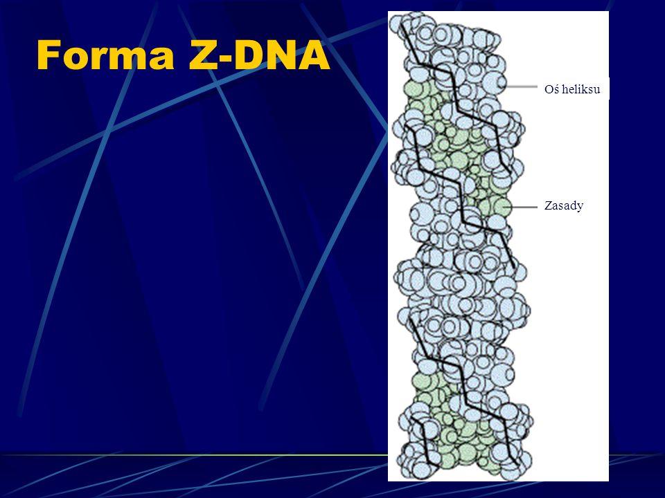 Forma Z-DNA Zasady Oś heliksu