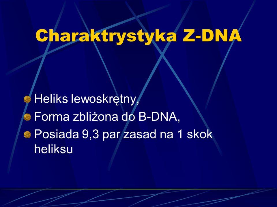 Charaktrystyka Z-DNA Heliks lewoskrętny, Forma zbliżona do B-DNA, Posiada 9,3 par zasad na 1 skok heliksu