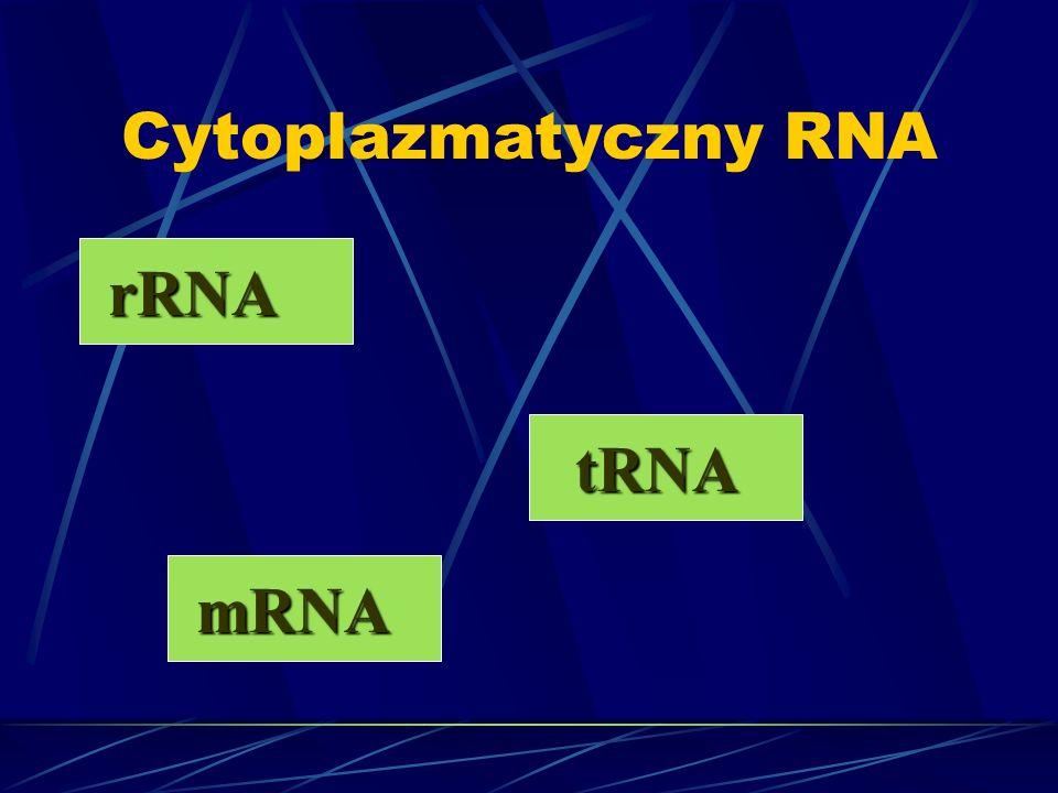 Cytoplazmatyczny RNA rRNA mRNA tRNA