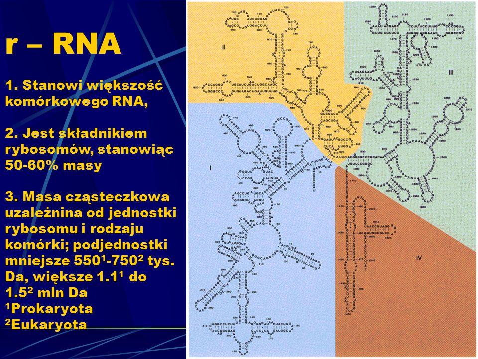 r – RNA 1. Stanowi większość komórkowego RNA, 2. Jest składnikiem rybosomów, stanowiąc 50-60% masy 3. Masa cząsteczkowa uzależnina od jednostki ryboso