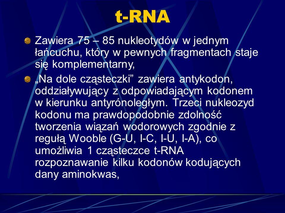 Zawiera 75 – 85 nukleotydów w jednym łańcuchu, który w pewnych fragmentach staje się komplementarny, Na dole cząsteczki zawiera antykodon, oddziaływuj