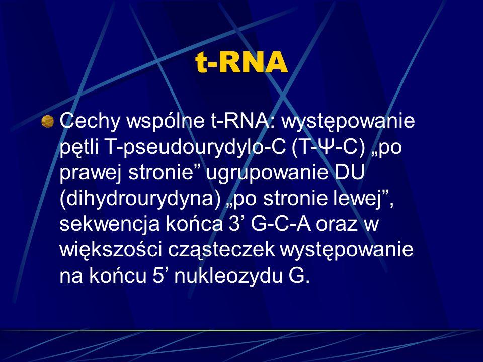 t-RNA Cechy wspólne t-RNA: występowanie pętli T-pseudourydylo-C (T-Ψ-C) po prawej stronie ugrupowanie DU (dihydrourydyna) po stronie lewej, sekwencja