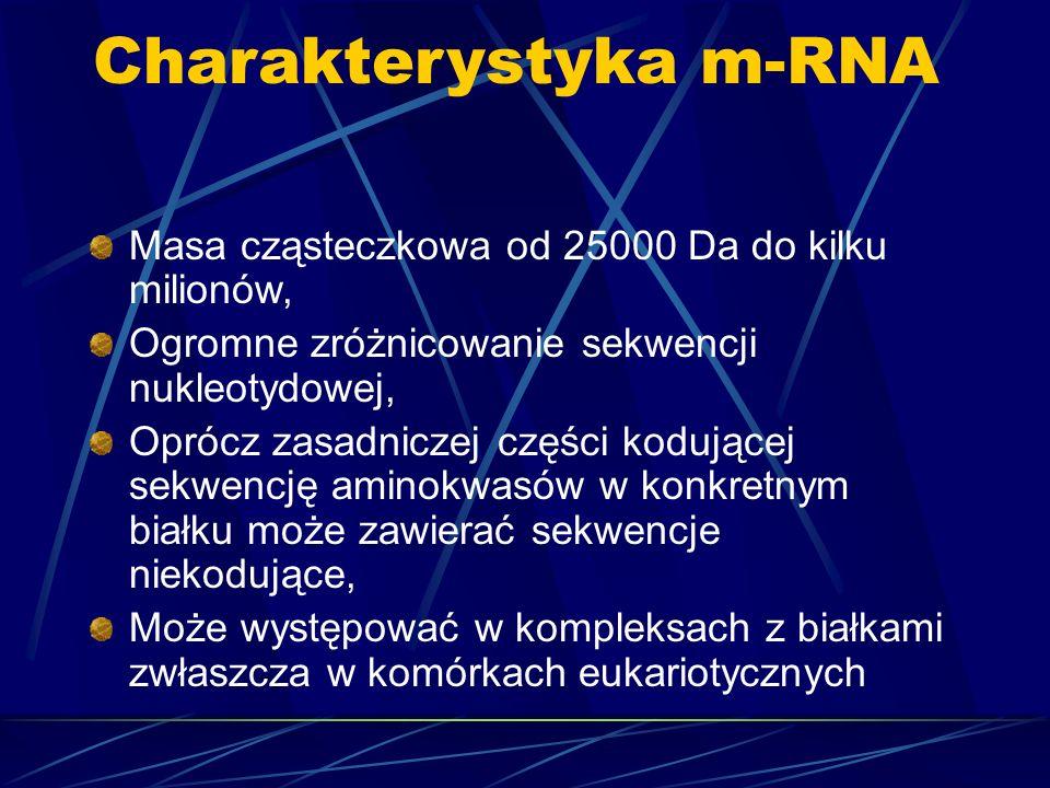 Charakterystyka m-RNA Masa cząsteczkowa od 25000 Da do kilku milionów, Ogromne zróżnicowanie sekwencji nukleotydowej, Oprócz zasadniczej części kodują
