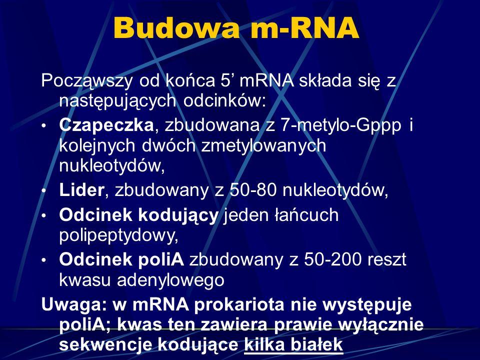 Budowa m-RNA Począwszy od końca 5 mRNA składa się z następujących odcinków: Czapeczka, zbudowana z 7-metylo-Gppp i kolejnych dwóch zmetylowanych nukle