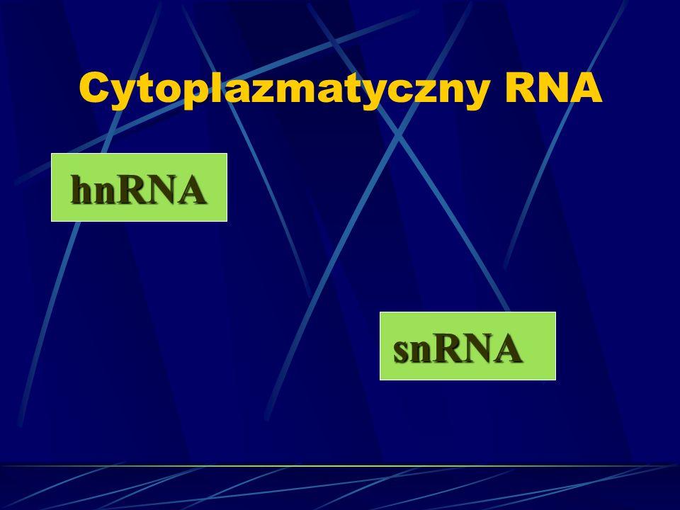 Cytoplazmatyczny RNA hnRNA snRNA
