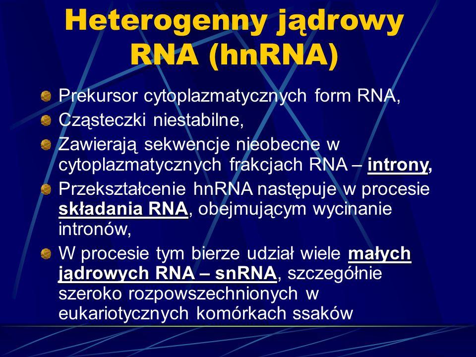 Heterogenny jądrowy RNA (hnRNA) Prekursor cytoplazmatycznych form RNA, Cząsteczki niestabilne, introny Zawierają sekwencje nieobecne w cytoplazmatyczn