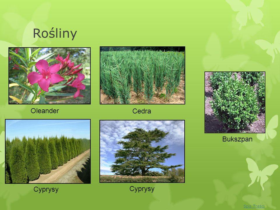 Rośliny Oleander Cyprysy Bukszpan Cedra Cyprysy Spis Treści