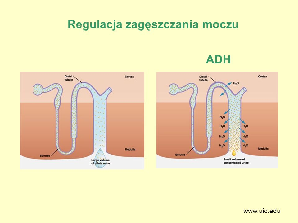 www.uic.edu Regulacja zagęszczania moczu ADH