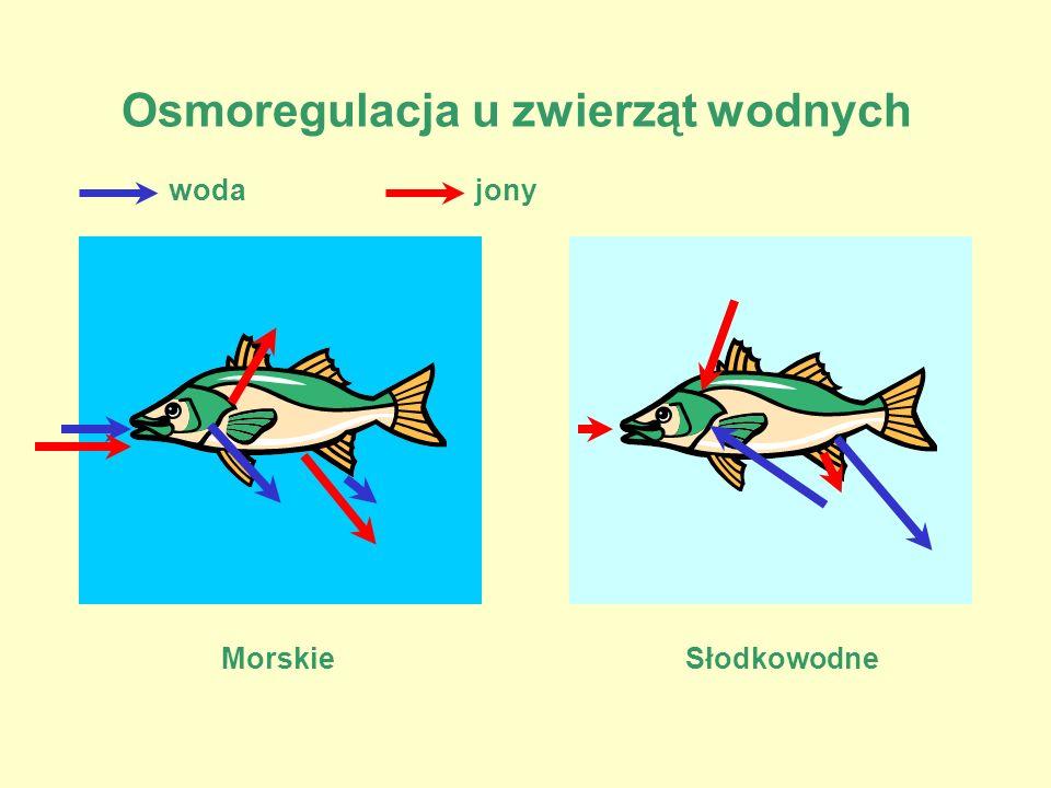 Osmoregulacja u zwierząt wodnych MorskieSłodkowodne wodajony