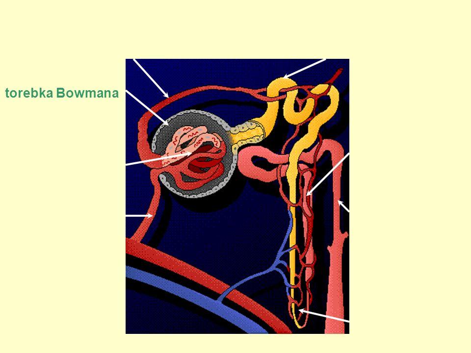 Nefron tętnica odprowadzająca tętnica doprowadzająca kanalik bliższy kłębuszek kanalik dalszy pętla nefronu naczynia krwionośne kanalik zbiorczy http://www.3dscience.com