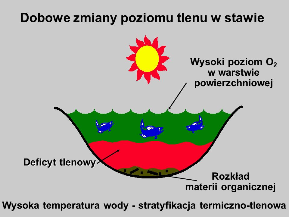 Przyducha Dobowe zmiany poziomu tlenu w stawie Miksja Letnie załamanie pogody – wiatr – miksja – deficyt tlenowy