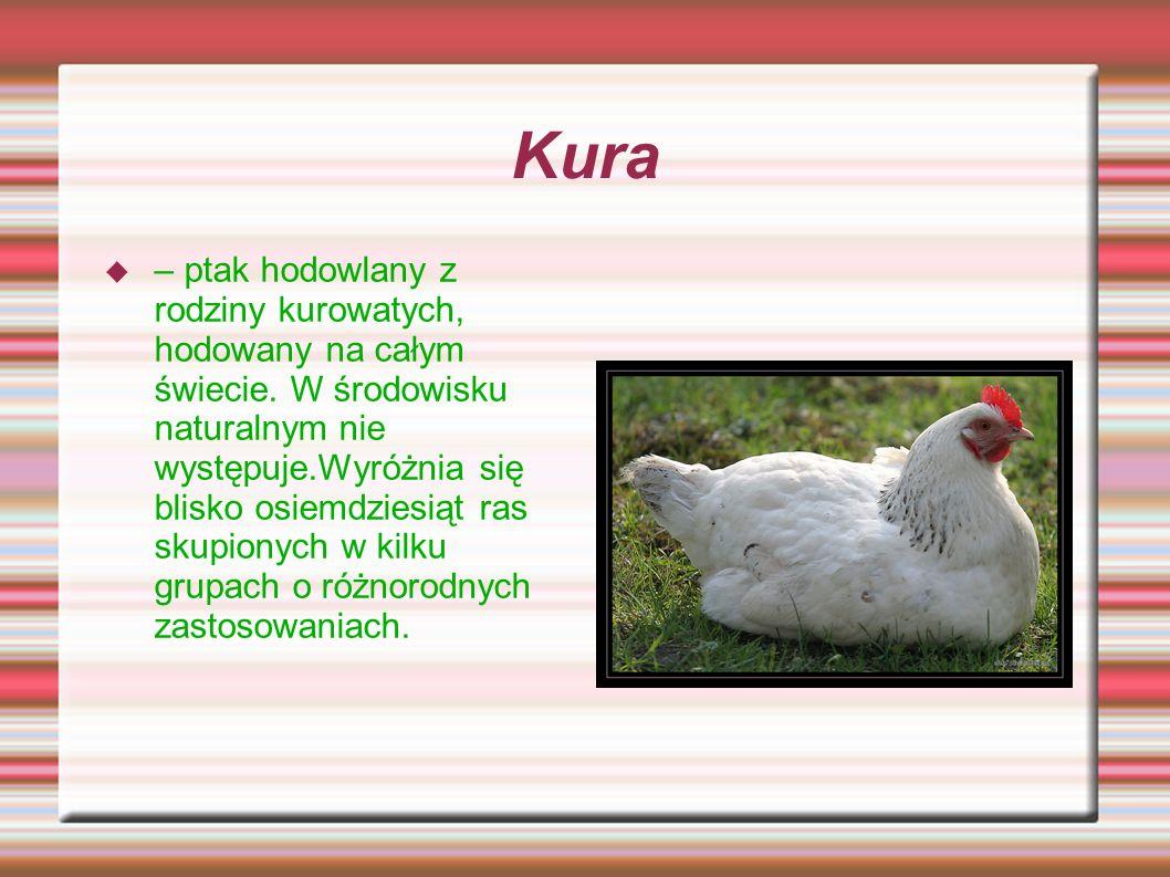 Kura – ptak hodowlany z rodziny kurowatych, hodowany na całym świecie. W środowisku naturalnym nie występuje.Wyróżnia się blisko osiemdziesiąt ras sku