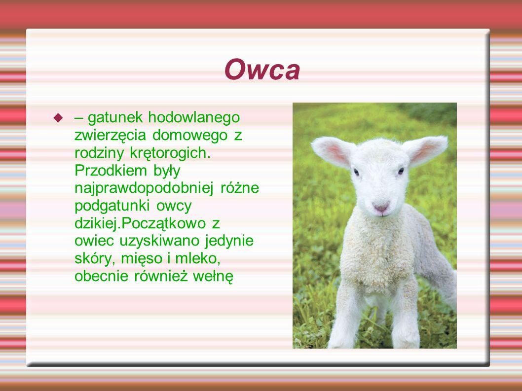 Owca – gatunek hodowlanego zwierzęcia domowego z rodziny krętorogich. Przodkiem były najprawdopodobniej różne podgatunki owcy dzikiej.Początkowo z owi
