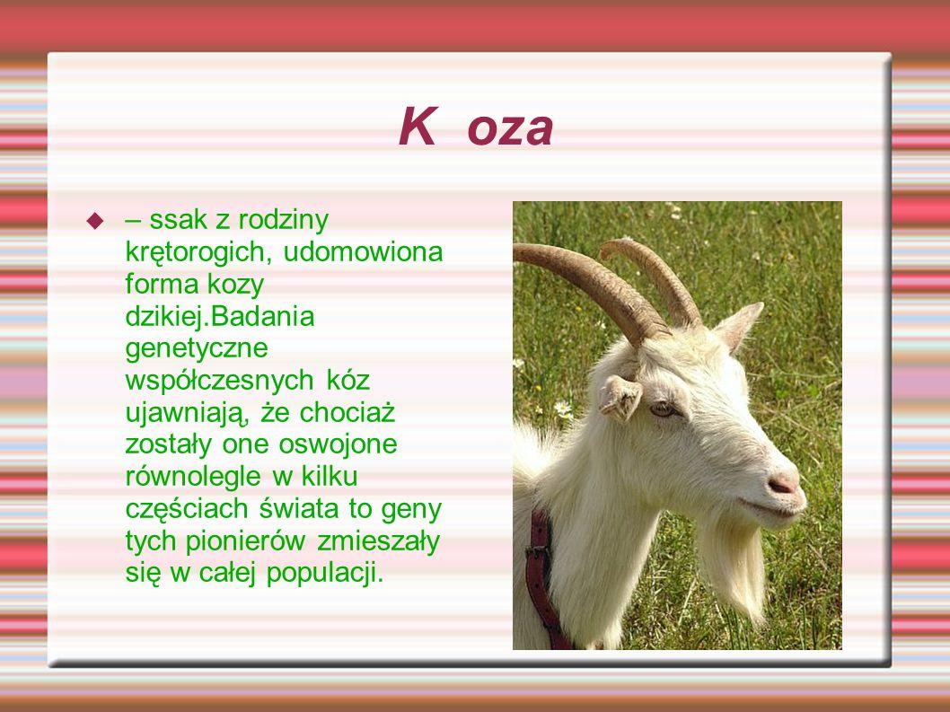Koza – ssak z rodziny krętorogich, udomowiona forma kozy dzikiej.Badania genetyczne współczesnych kóz ujawniają, że chociaż zostały one oswojone równo