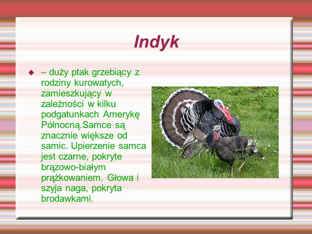 Indyk – duży ptak grzebiący z rodziny kurowatych, zamieszkujący w zależności w kilku podgatunkach Amerykę Północną.Samce są znacznie większe od samic.