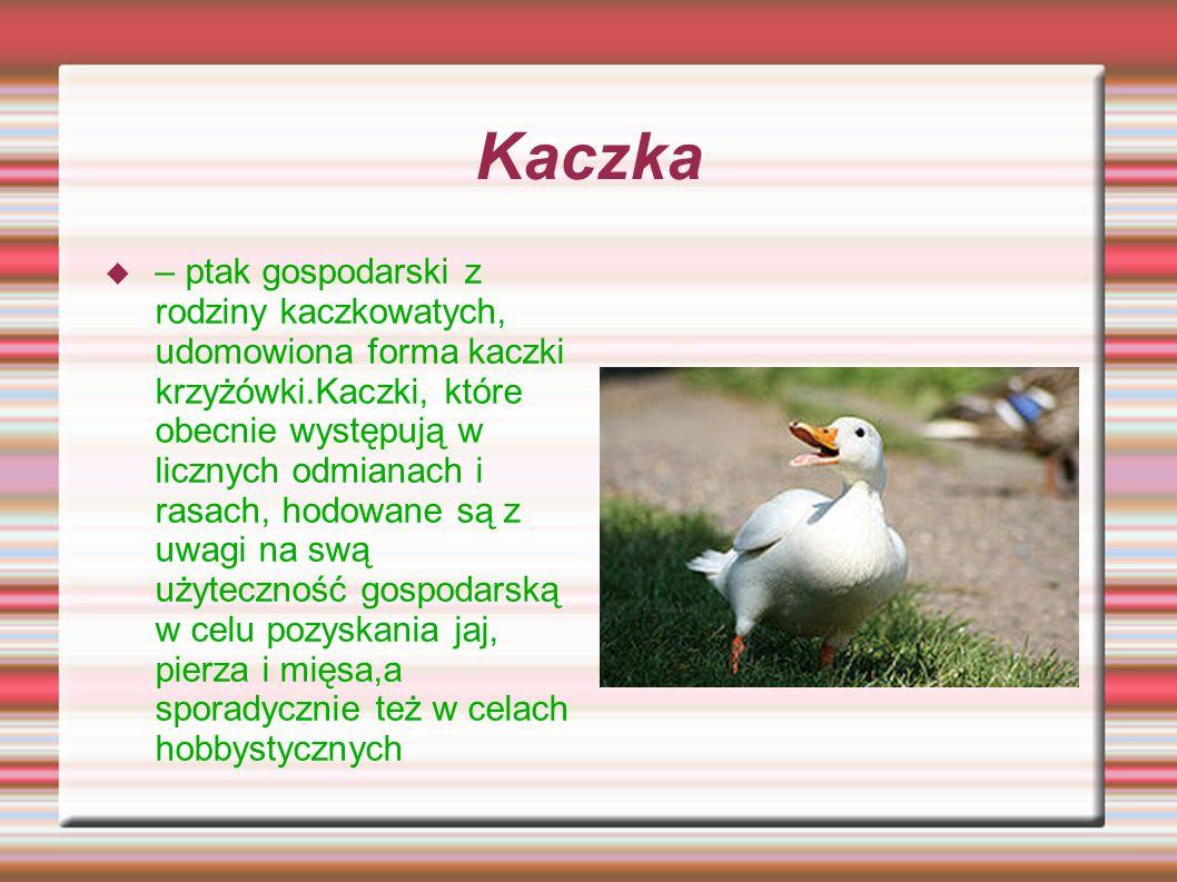 Kaczka – ptak gospodarski z rodziny kaczkowatych, udomowiona forma kaczki krzyżówki.Kaczki, które obecnie występują w licznych odmianach i rasach, hod