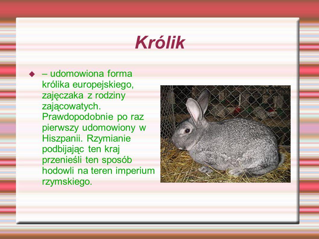 Królik – udomowiona forma królika europejskiego, zajęczaka z rodziny zającowatych. Prawdopodobnie po raz pierwszy udomowiony w Hiszpanii. Rzymianie po