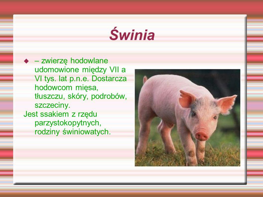 Świnia – zwierzę hodowlane udomowione między VII a VI tys. lat p.n.e. Dostarcza hodowcom mięsa, tłuszczu, skóry, podrobów, szczeciny. Jest ssakiem z r