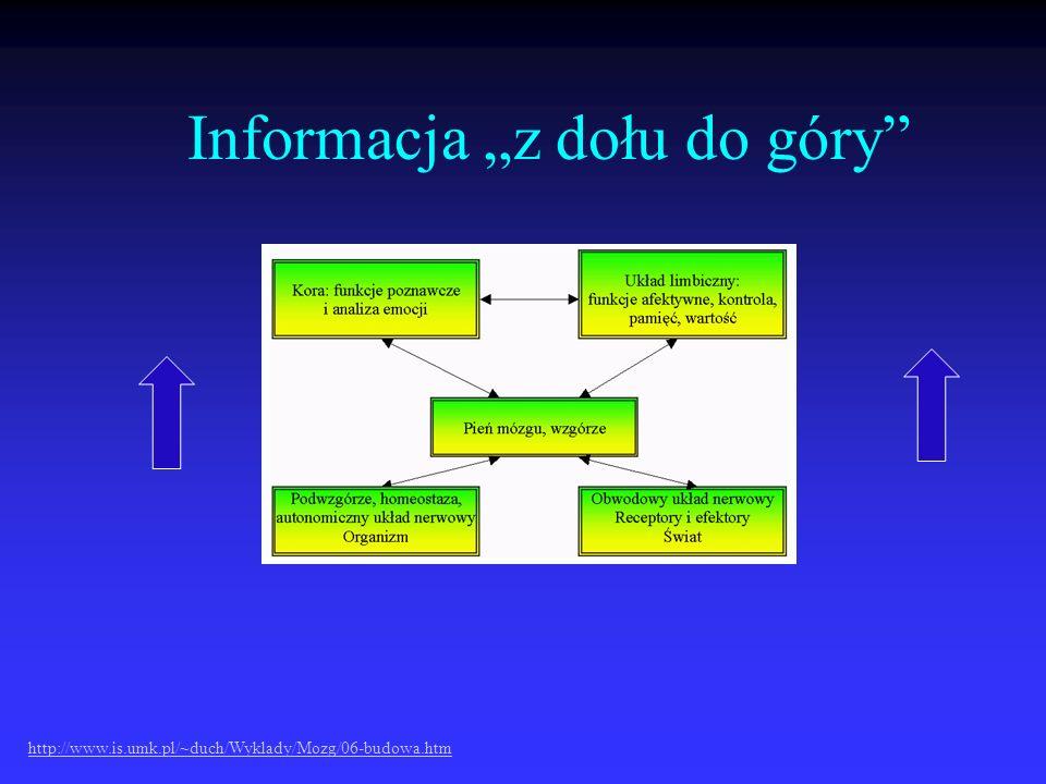 Informacja z dołu do góry http://www.is.umk.pl/~duch/Wyklady/Mozg/06-budowa.htm