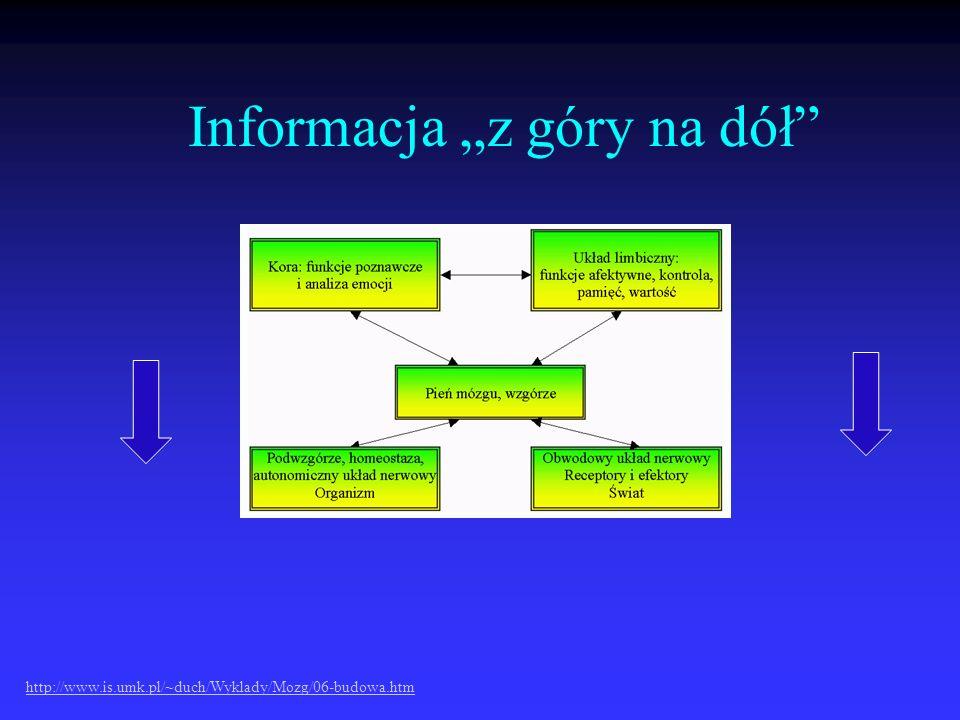 Informacja z góry na dół http://www.is.umk.pl/~duch/Wyklady/Mozg/06-budowa.htm