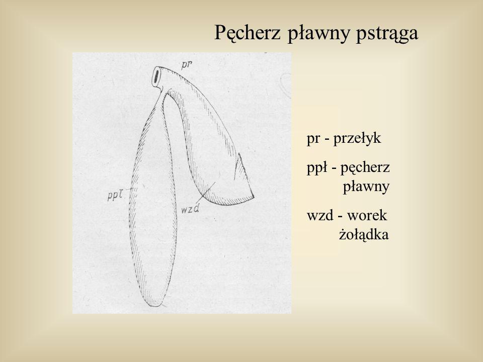 Pęcherz pławny karpiowatych dpp - przewód pęcherza pławnego pł - komora przednia pęcherza pp - komora tylna nW - narząd Webera