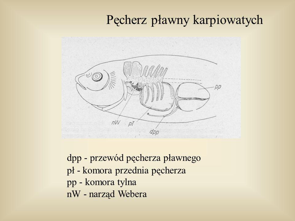 Pęcherz pławny pławikonika fa - warstwa zewnętrzna la - warstwa blaszkowata gaz - gruczoł gazowy rm - sieć dziwna pł - komora przednia prz - przegroda pp - komora tylna owa - warstwa naczyniowa owalu